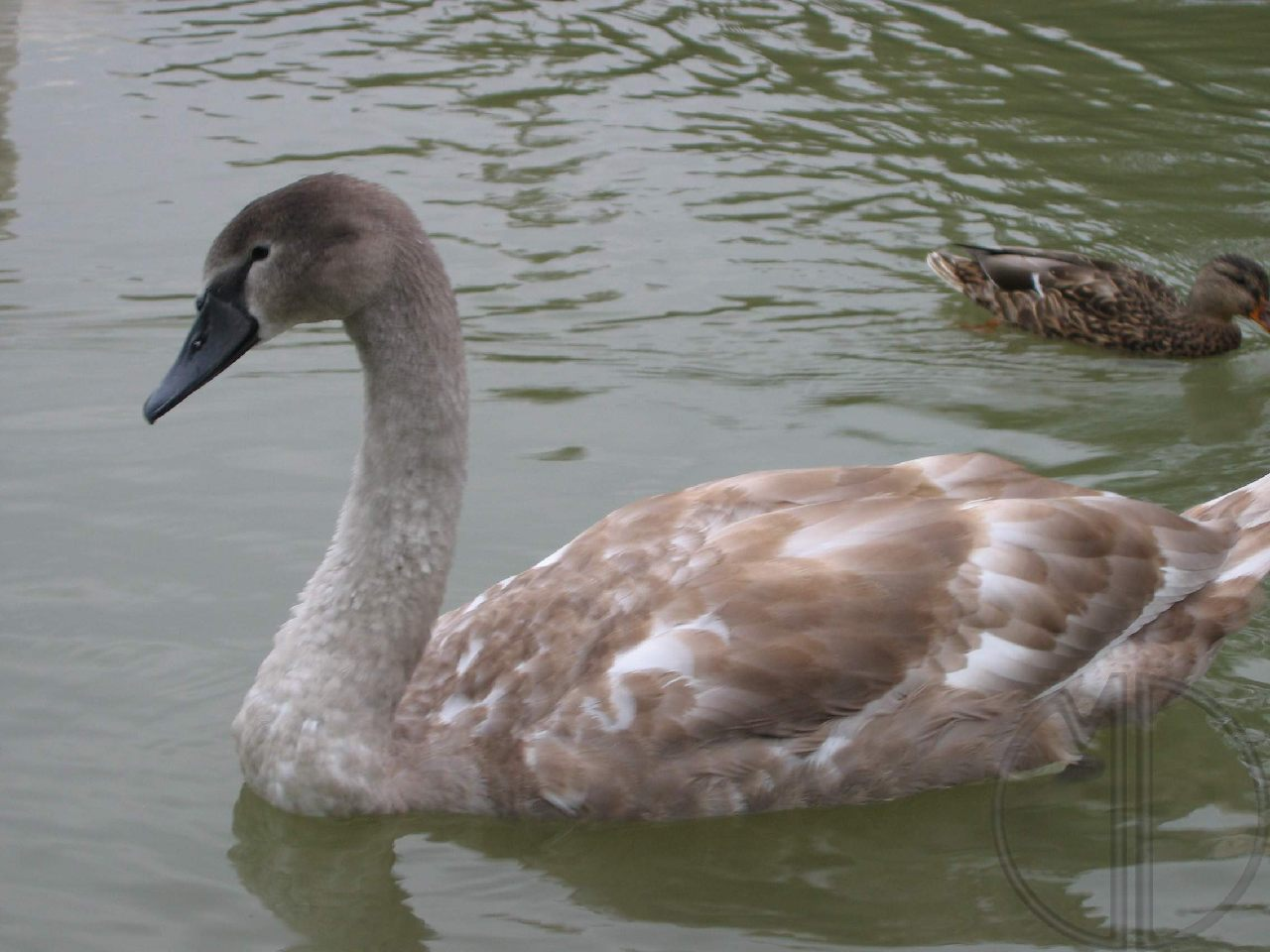 Photo cygne 01