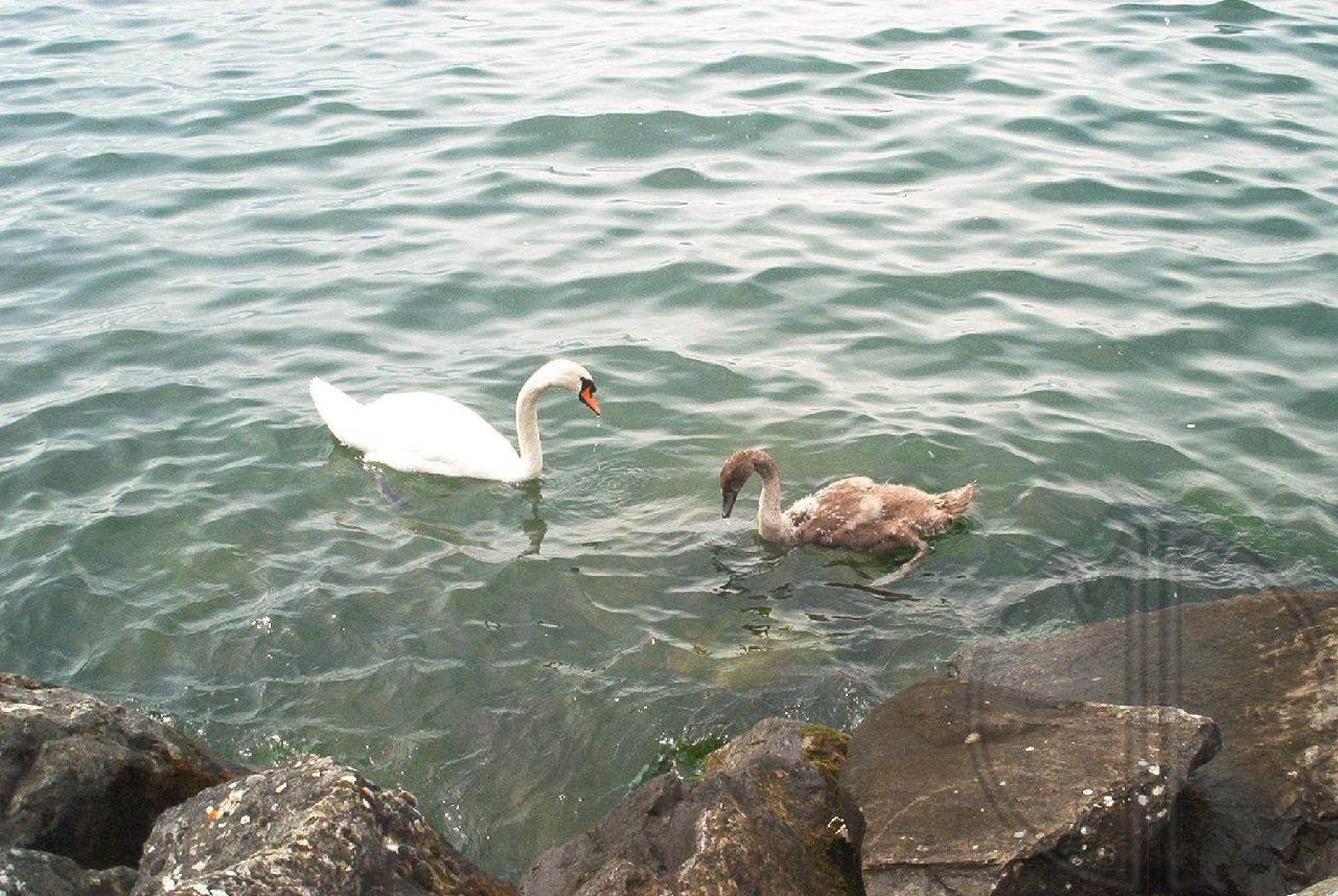 Photo cygne 03