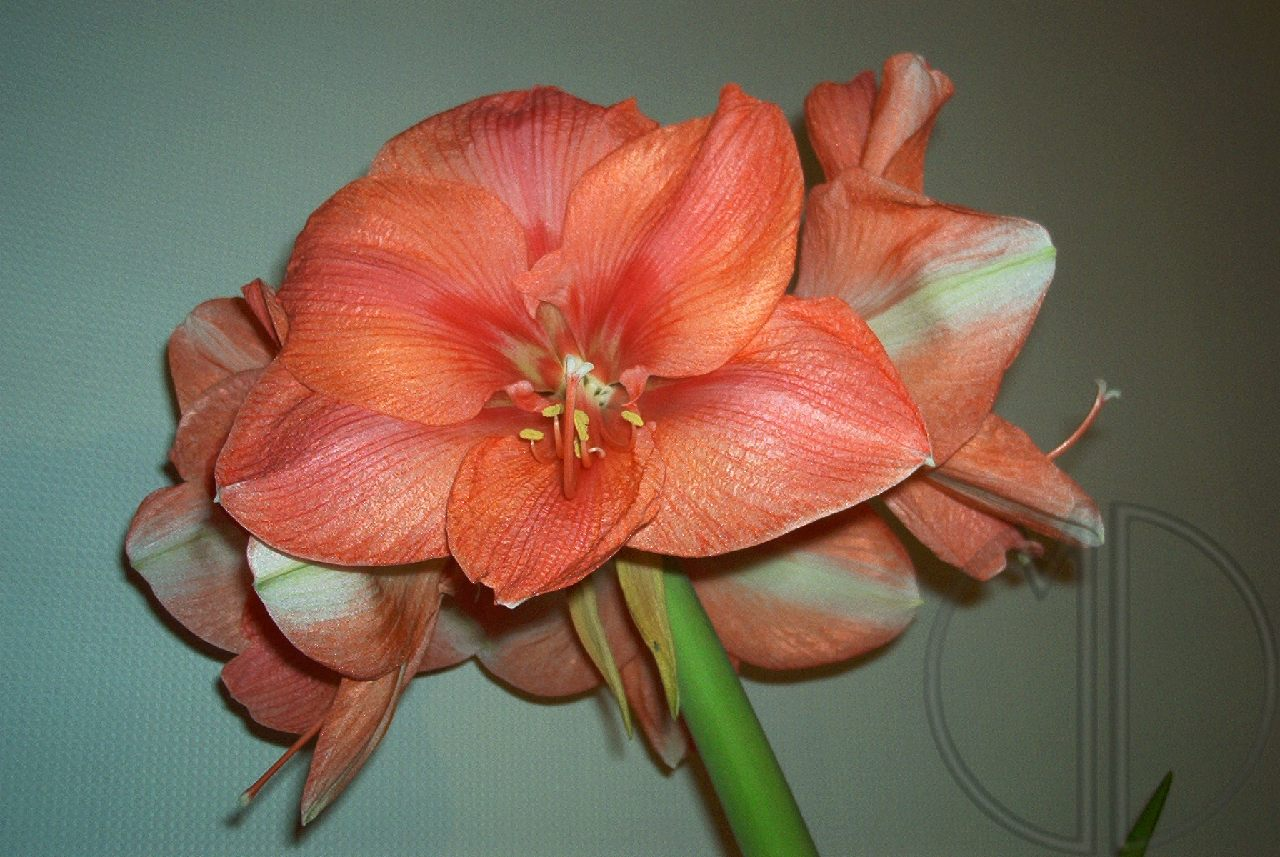Photo amaryllis 05