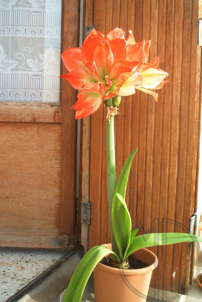Photo amaryllis 09