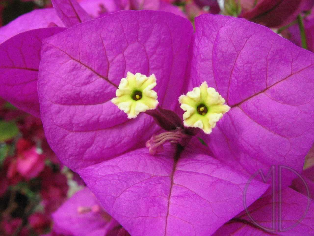 Photo bougainvillee 01