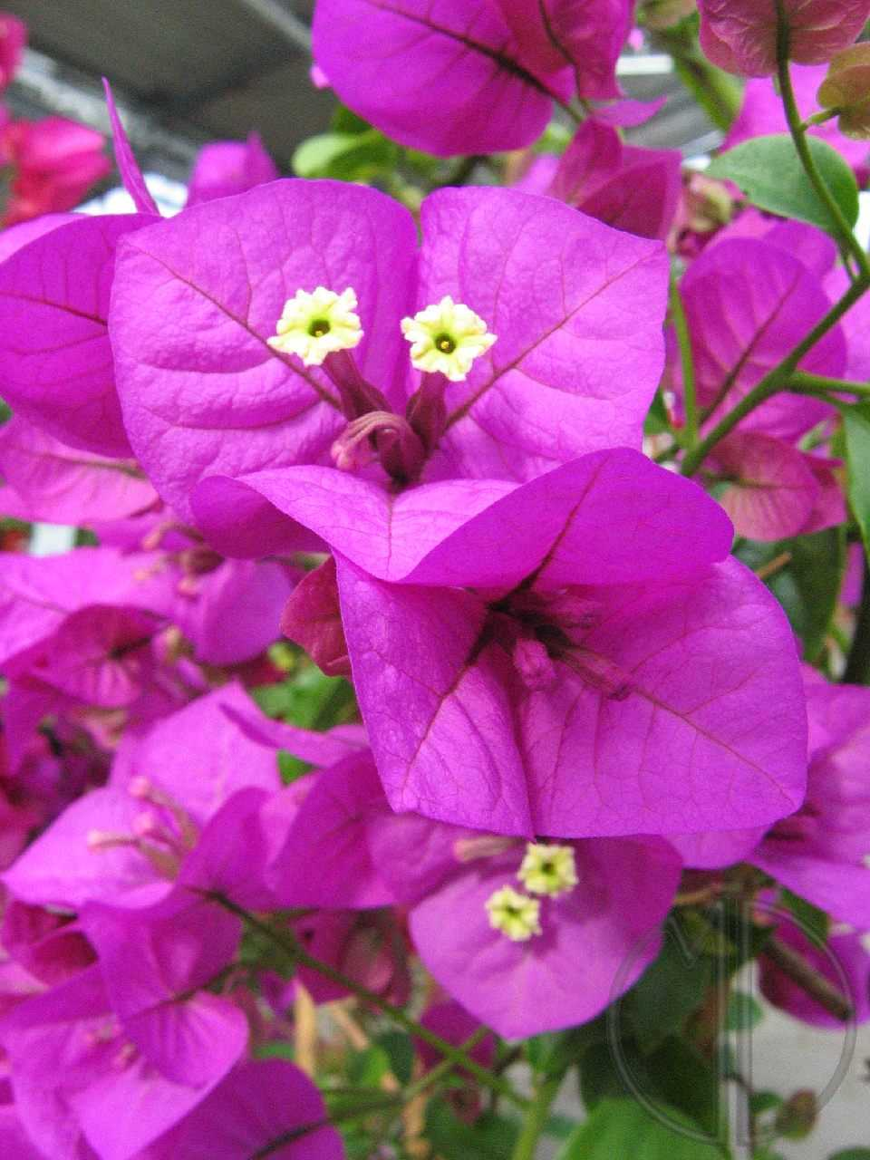 Photo bougainvillee 02