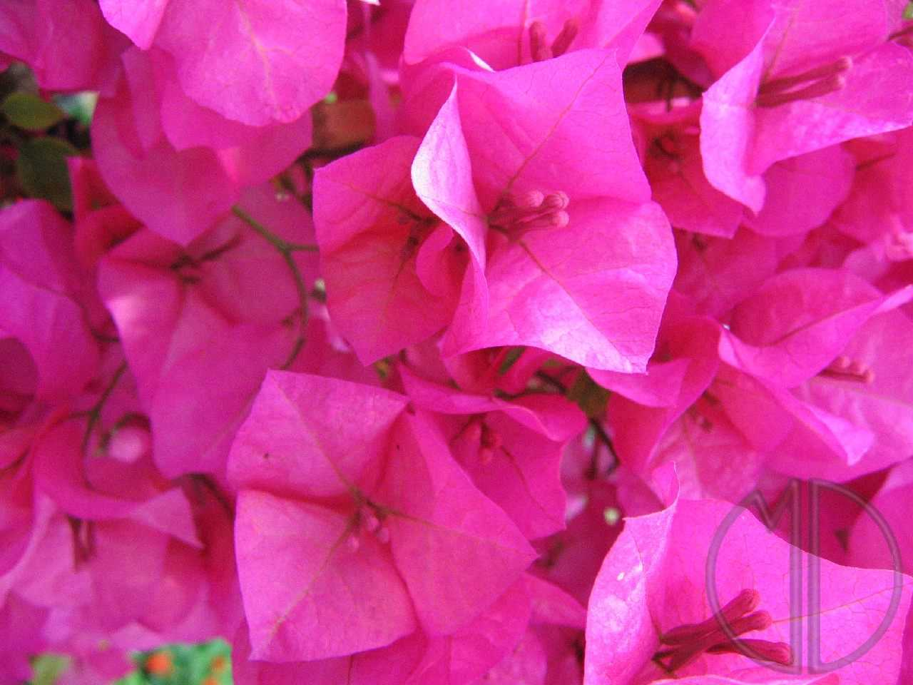 Photo bougainvillee 03