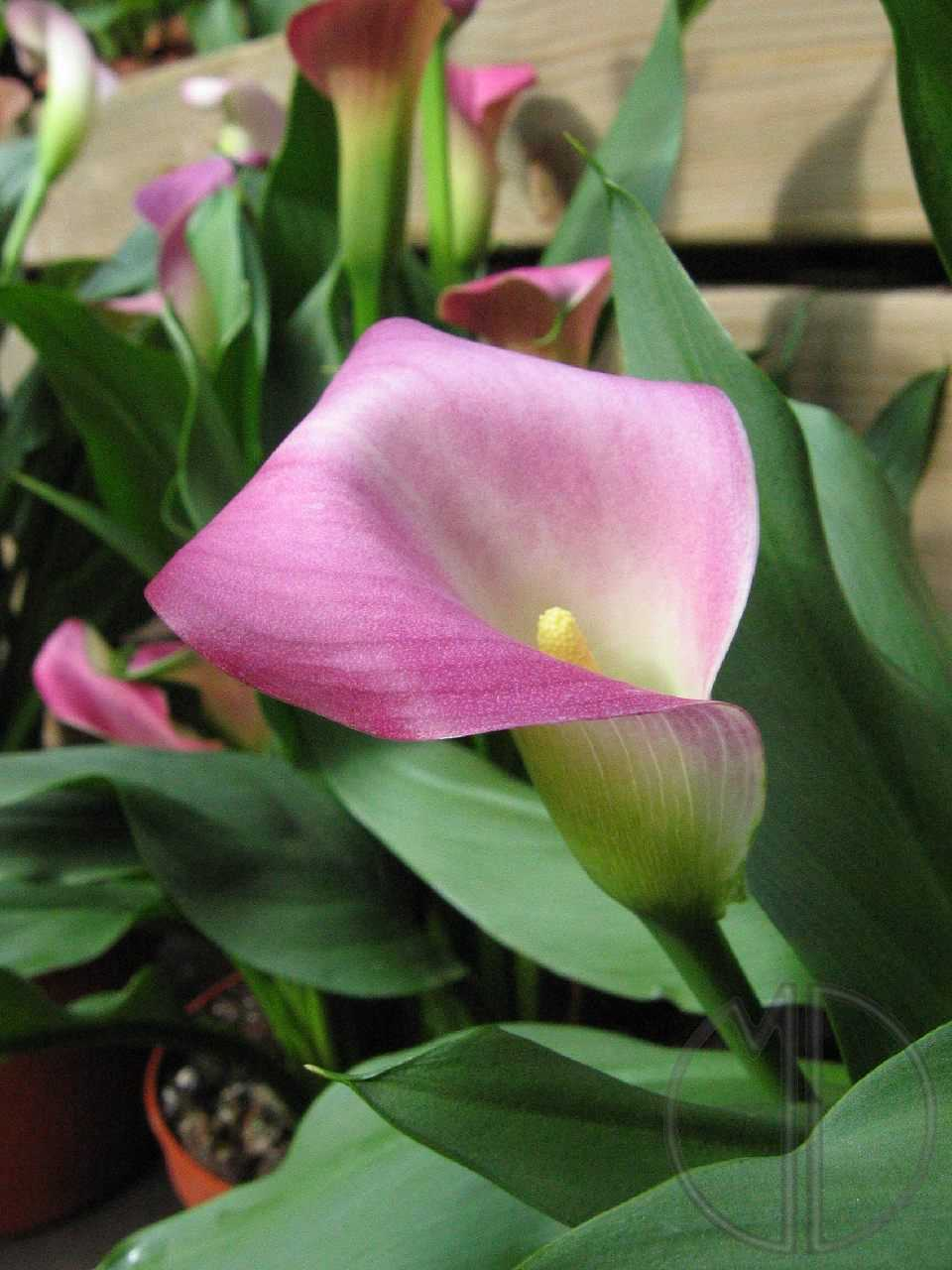 Photo calla ou arum des fleuristes 05