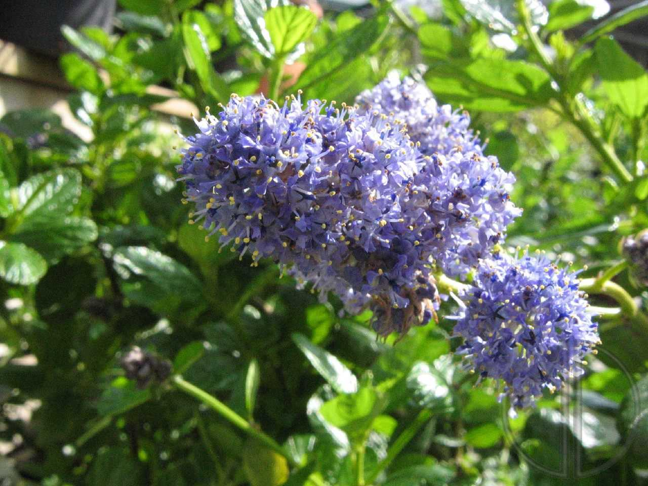 Photo ceanothe ou lilas californien 02