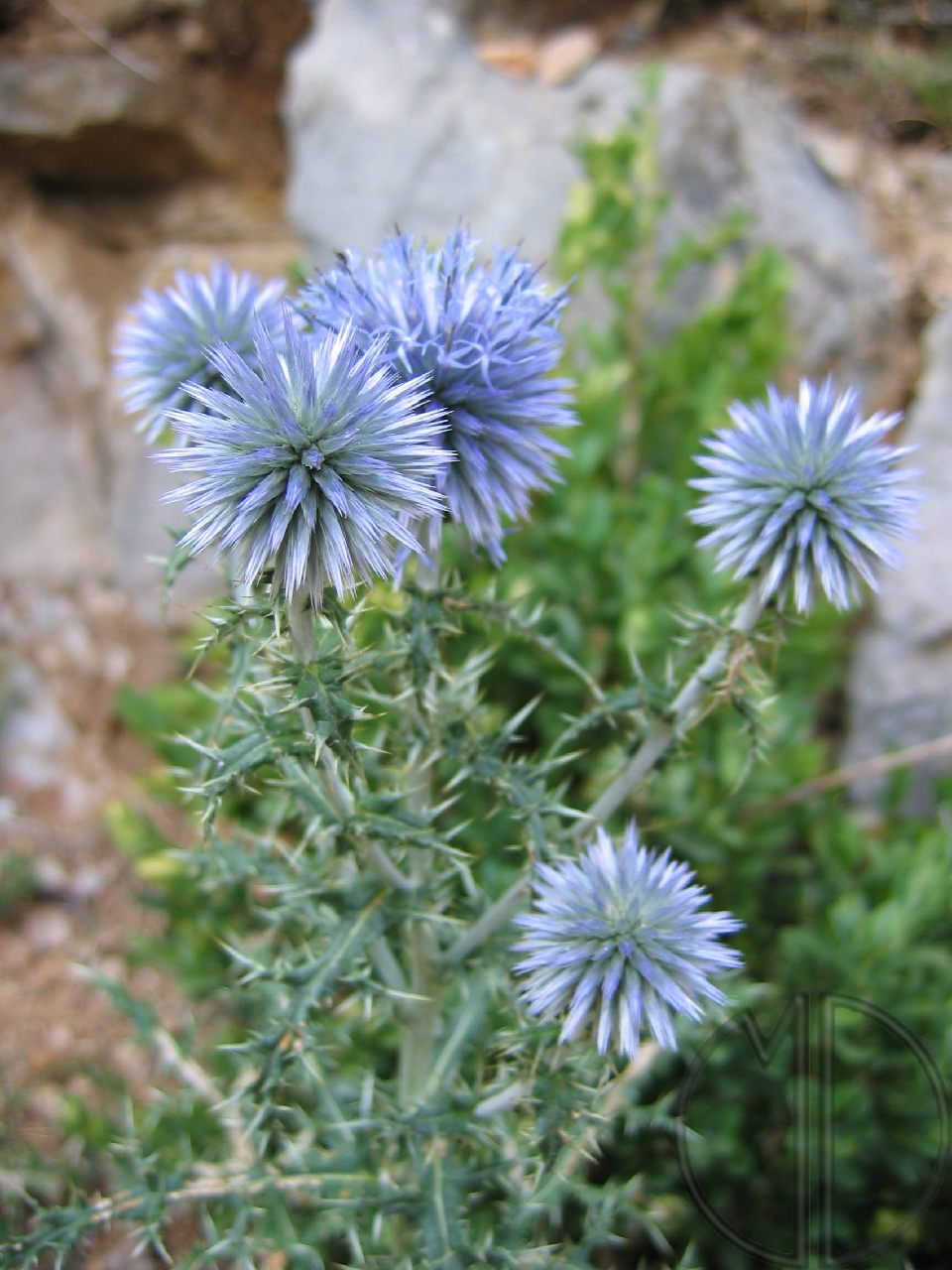 Photo echinops a tete ronde 01