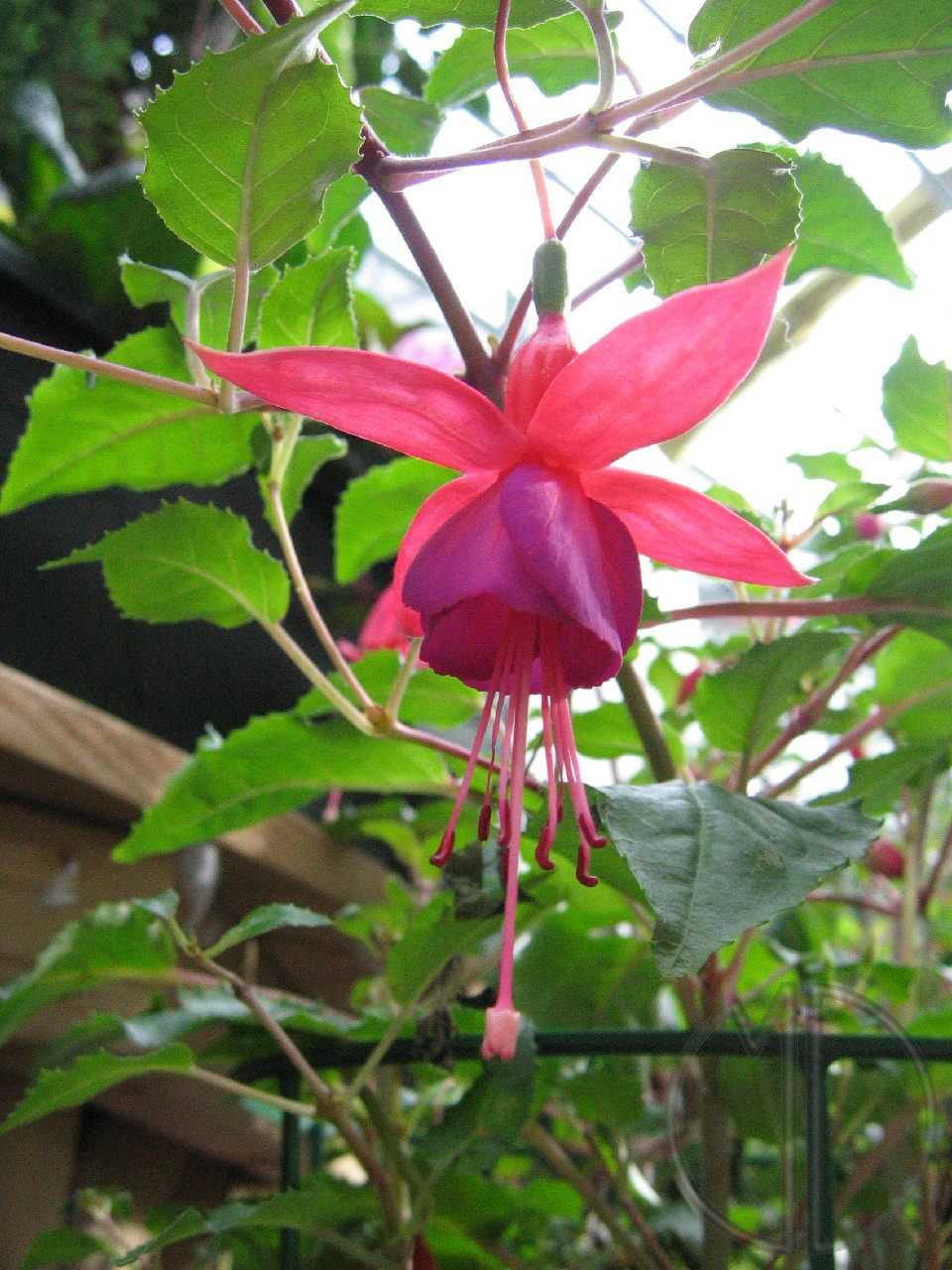 Photo fuchsia 01