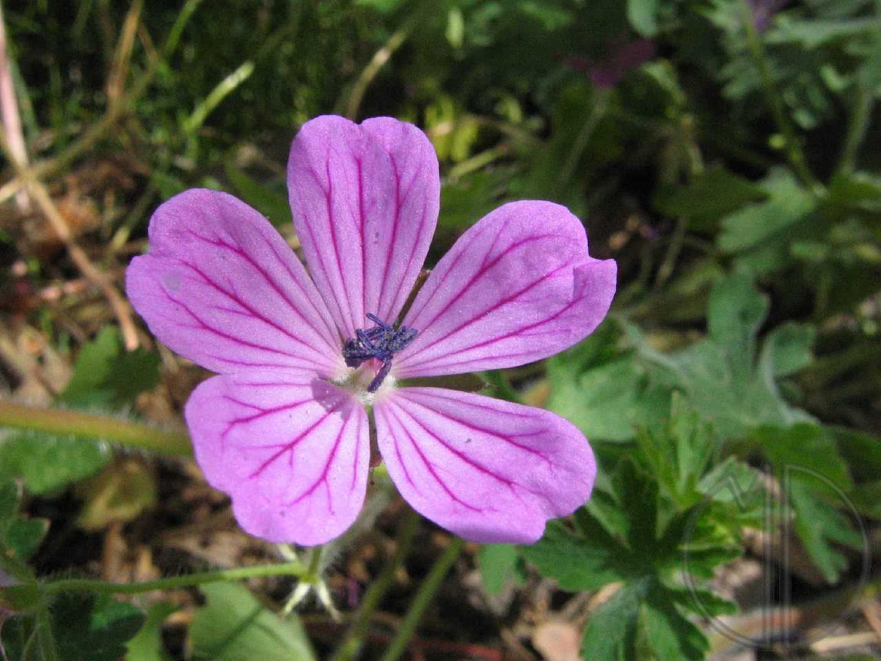 Photo geranium herbe a robert 01
