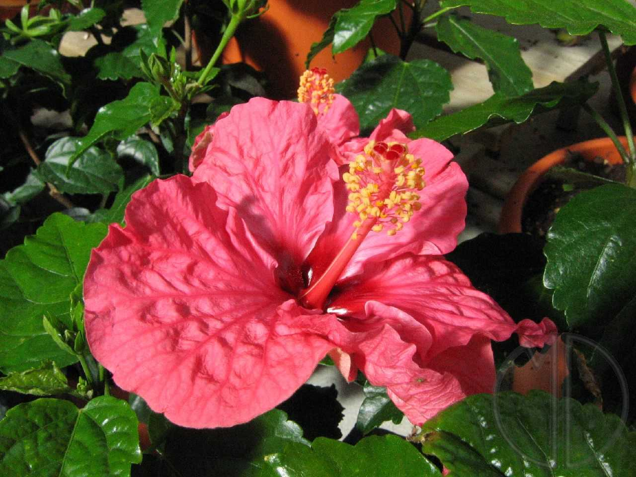 Photo hibiscus 03