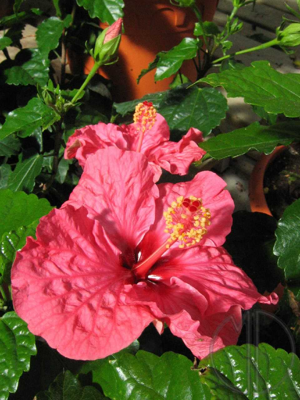 Photo hibiscus 04
