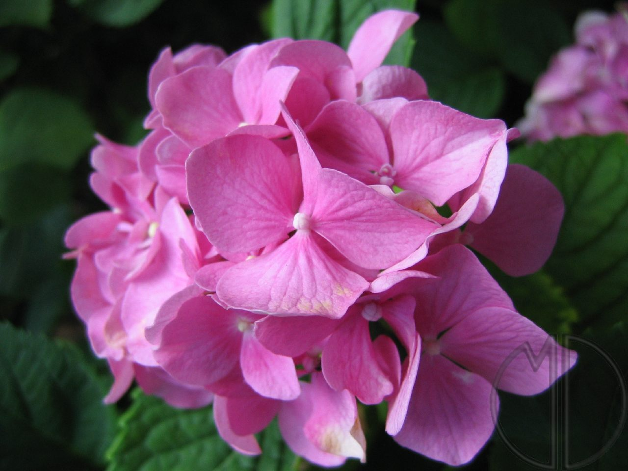 Photo hortensia 01