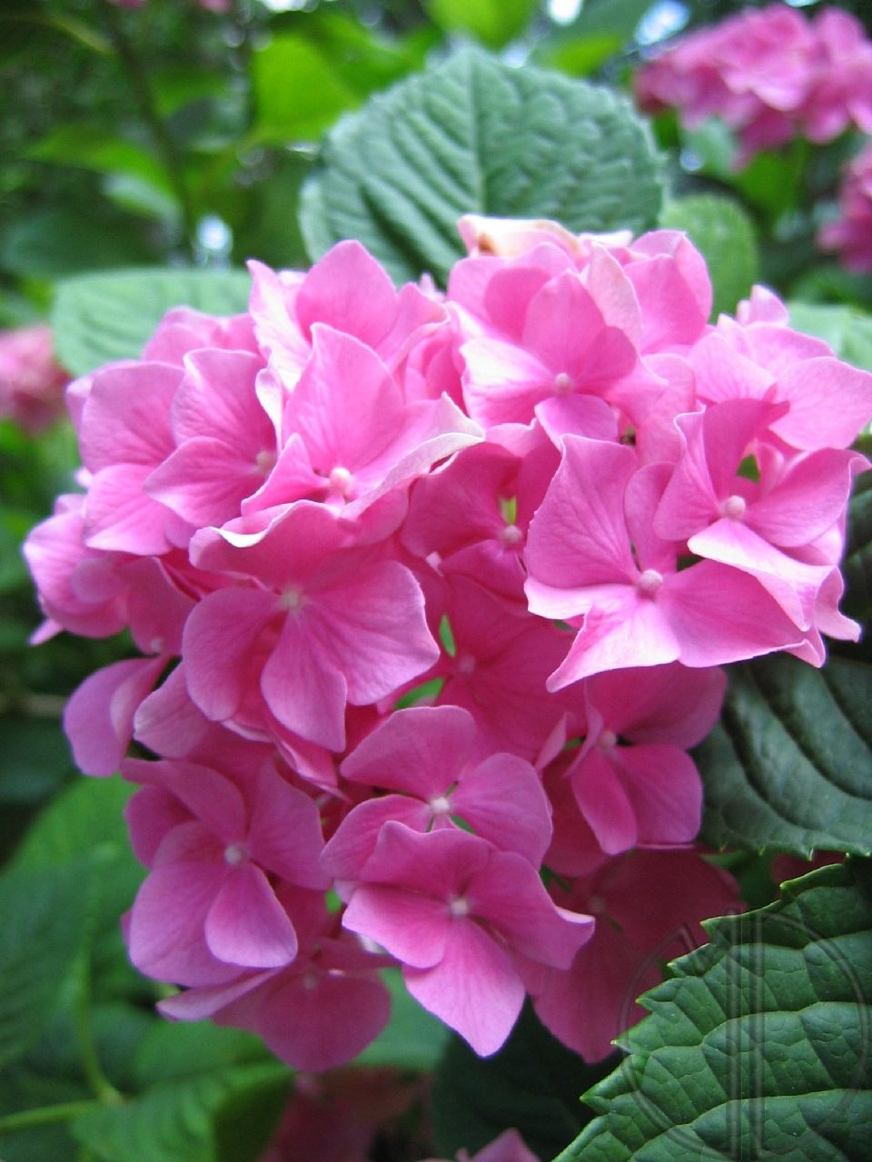 Photo hortensia 02