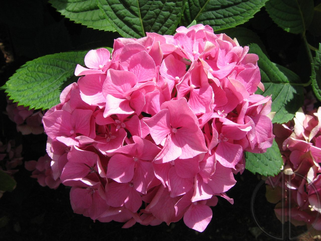 Photo hortensia 04