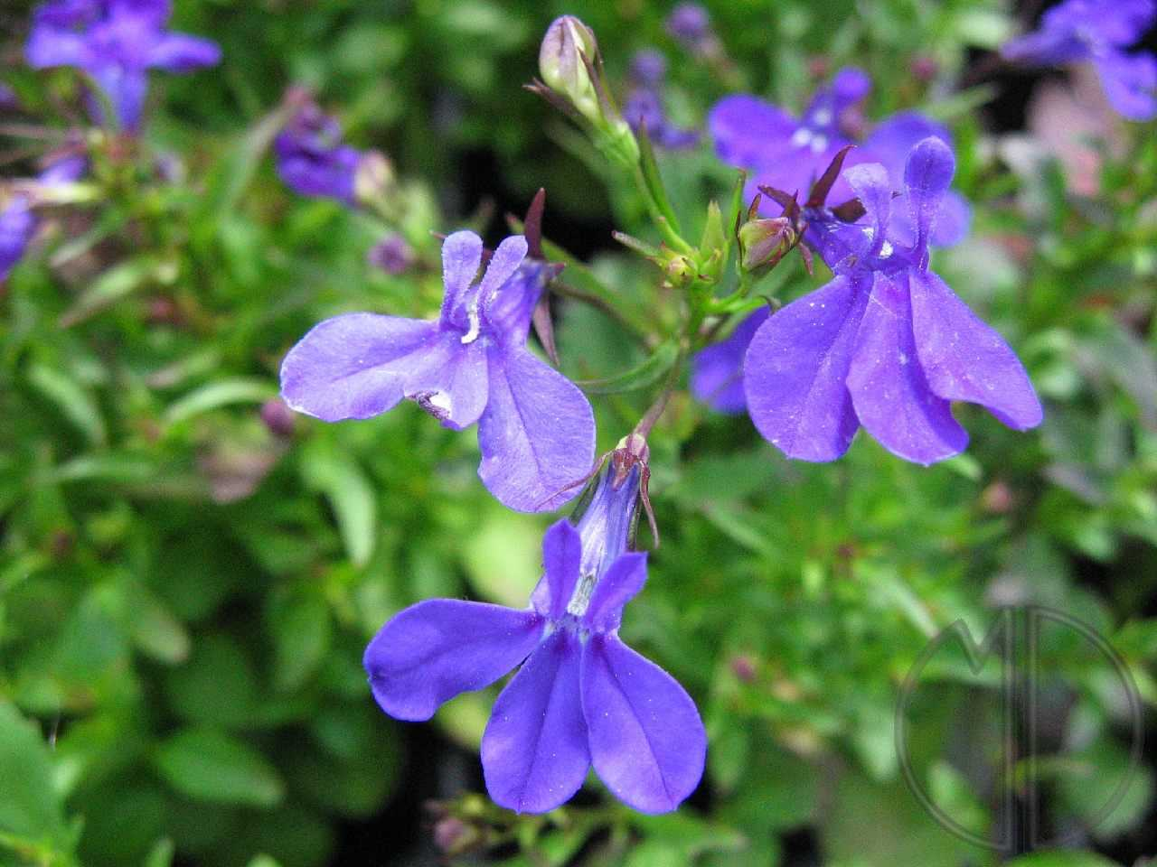 Photo lobelia 01