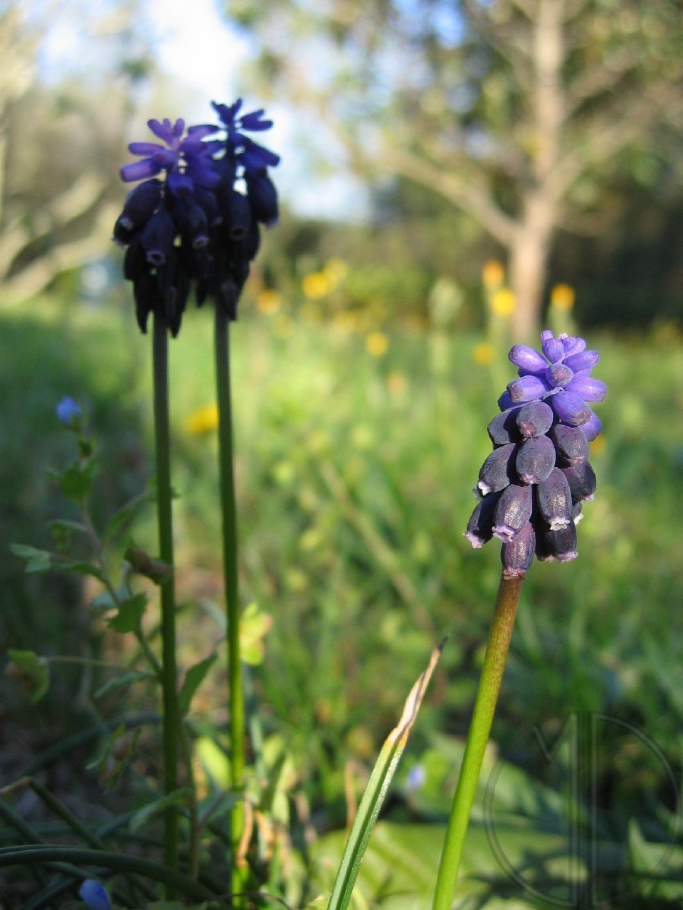Photo muscari a grappe 01