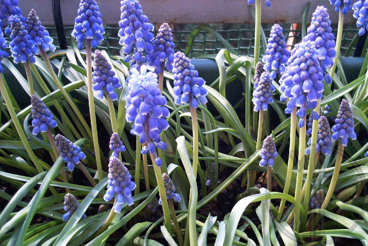 Photo muscari a grappe 02