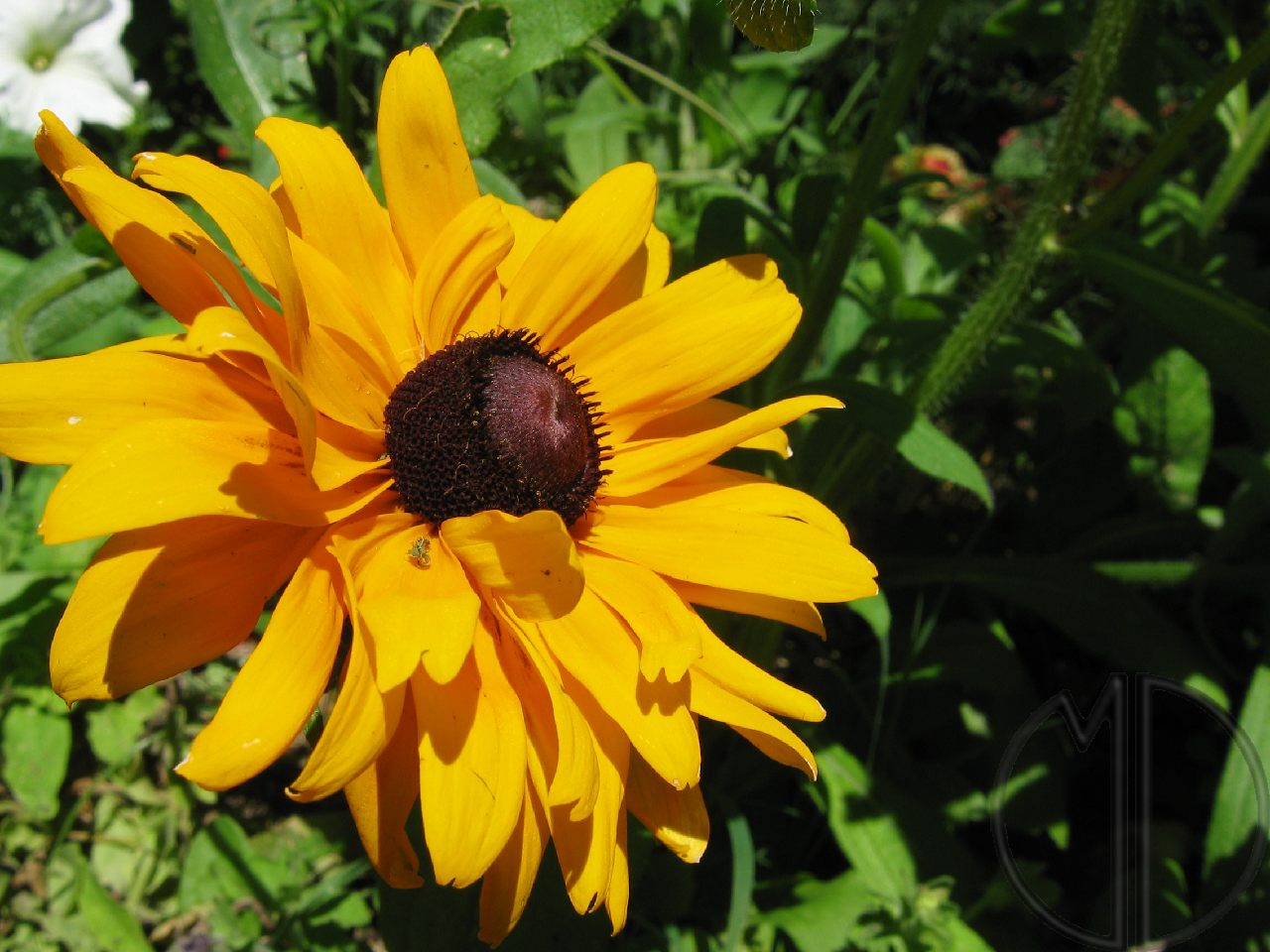 Photo rudbeckia 04