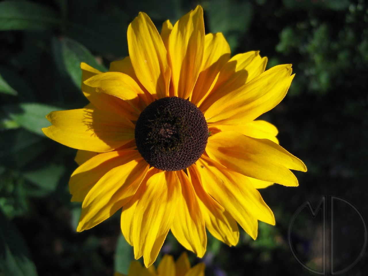 Photo rudbeckia 05