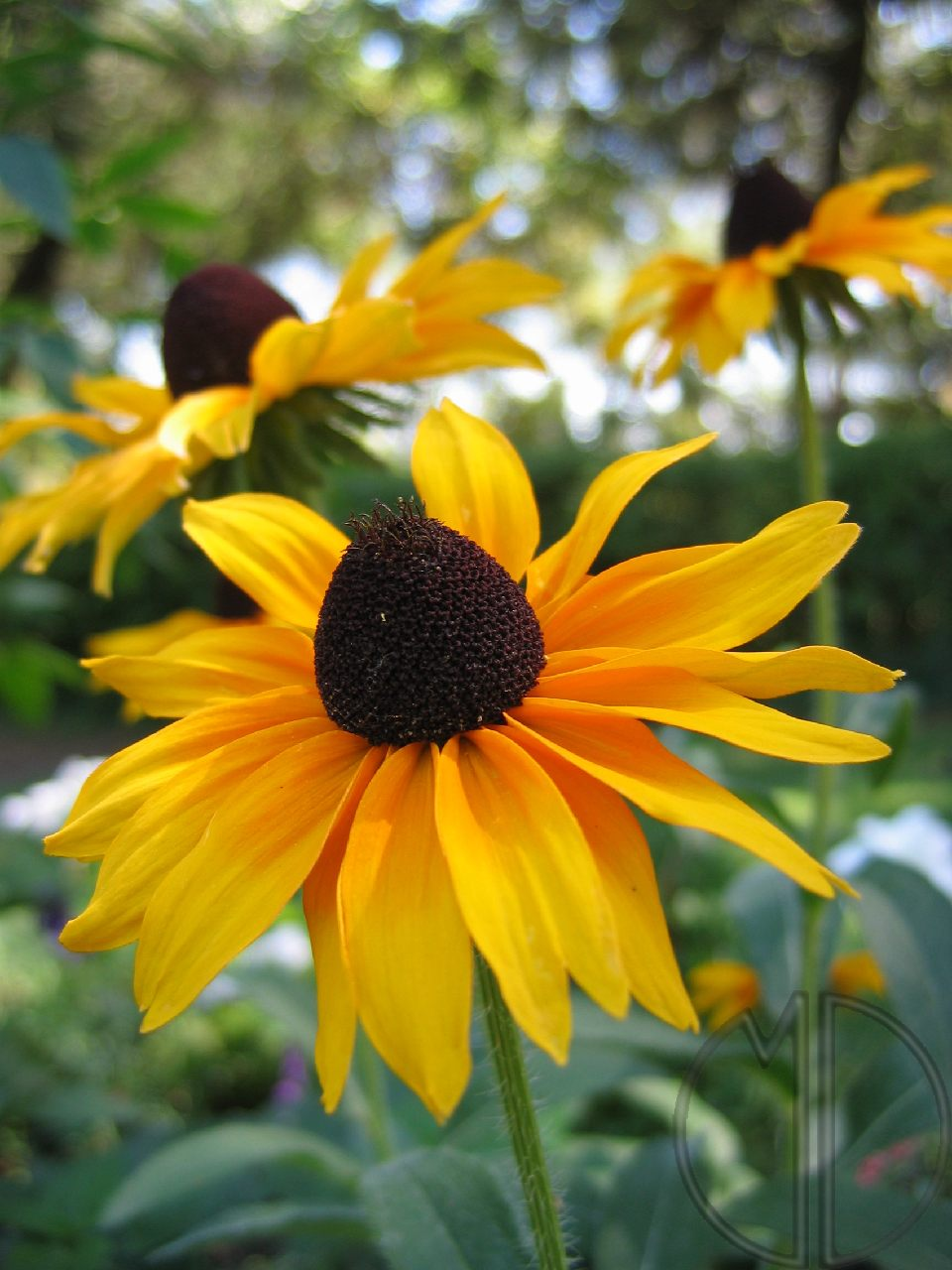 Photo rudbeckia 06