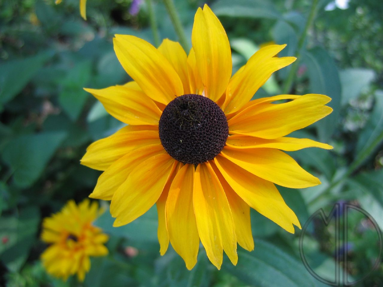 Photo rudbeckia 07