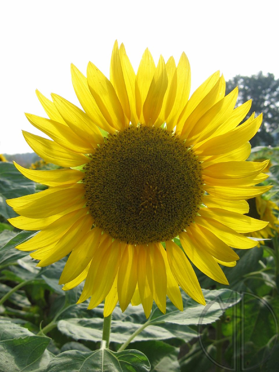 Photo tournesol 02